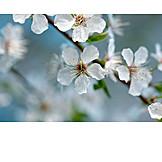 Cherry blossom, Cherry branch