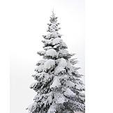 Coniferous tree, Snowy, Snow cover