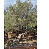 Olive tree, Olive grove