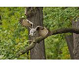 Flying, Great gray owl