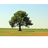 Tree, Pine tree