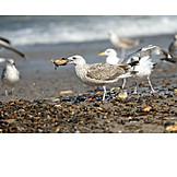 Seagull, Feeding, Great black, Backed gull