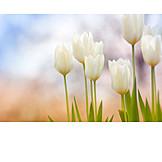 Spring, Tulips Bloom