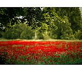 Flower meadow, Papaver meadow