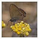 Butterfly, Satyrium ilicis
