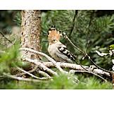Bird, Hoopoe