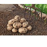Potato, Potato harvest