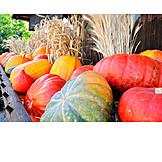 Squash, Pumpkin harvest