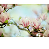 Magnolia, Magnolia flower