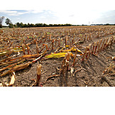 Maize Field, Harvested