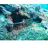 Lobster, Cancer