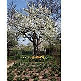 Garden, Cherry Tree