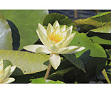 Water lily, Water lily pad