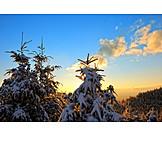 Twilight, Tree, Winter, Spruce Tree
