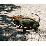 Iguana family, Green iguana, Iguana