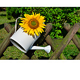 Sunflowers, Watering can