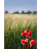 Summer, Poppy Flower