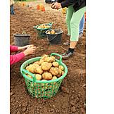Harvest, Potato, Potato Harvest