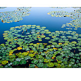 Lake, Water lily