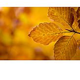 Autumn, Leaf, Beech Tree, Leaves