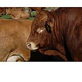 Cattle, Bull