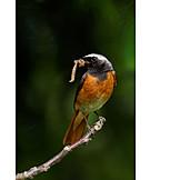 Bird, Garden redstart