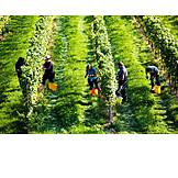 Harvest, Vintage, Vine, Vines