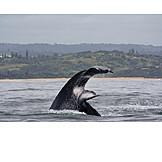 Fluke, Humpback whale, Shelly beach