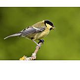 Mockingbird, Great tit