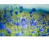 Defocused, Cornflower field