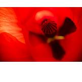 Poppy, Opium Poppy, Bud