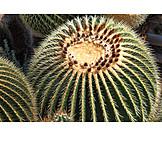 Cactus, Grusonii