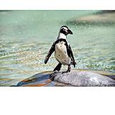 Penguin, Jackass penguin
