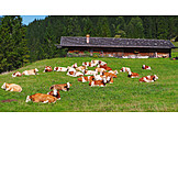 Farm, Alp, Livestock, Cow paddock