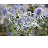 Plant, Eryngium planum