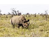 White rhinoceros, Etosha national park