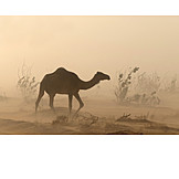 Dromedary camel, Sandstorm