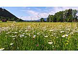 Daisy flower, Gaißacher filze