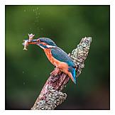 Fishing, Kingfisher