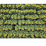 Sunflower, Row
