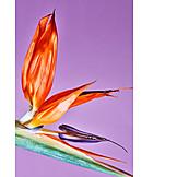 Blossom, Bird of paradise