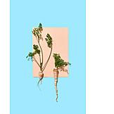 Root vegetable, Parsley root