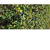 Berries, Privet