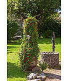 Black, Eyed susan vine, Vine, Landscape gardening