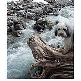 Torrent, Tibetan terrier