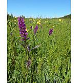 Orchid, Bog meadow