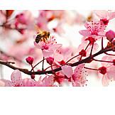 Spring, Honey bee, Almond blossom