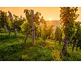 Sunrise, Vine, Vineyard