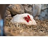 Bird's nest, Chicken, Brooding