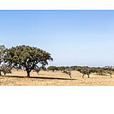 Plantation, Cork oak, Alentejo